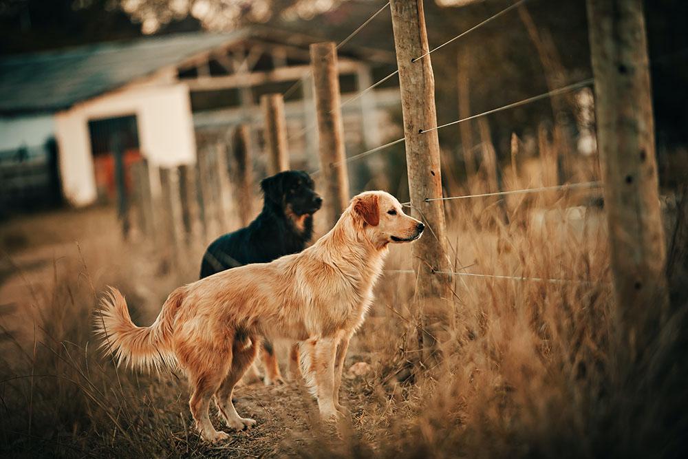 Golden e Kennel