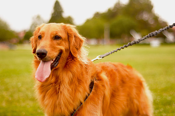 Golden Retriever Kennel Club
